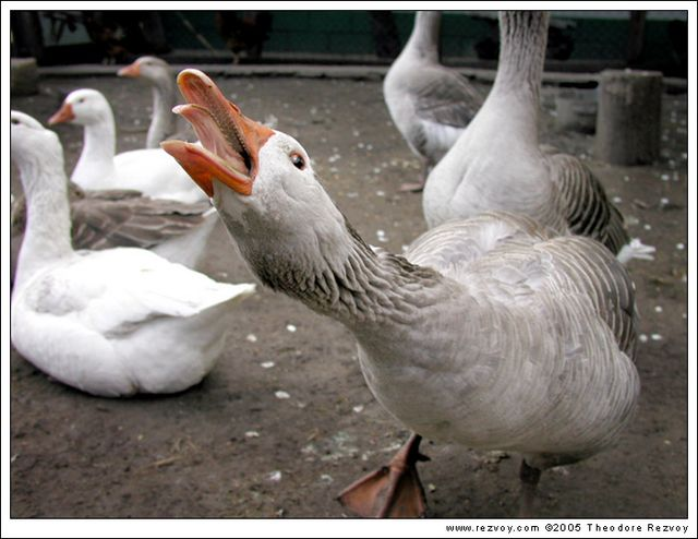scrape_goose's Photo