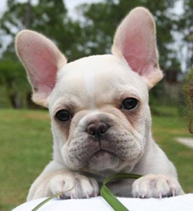 Richard Moore is looking to buy one of these, a French bulldog. ©FrenchieFever